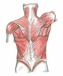 tronco muscular